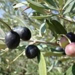 oliven10